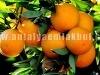 Fotoğraf Bahtılıda satılık portakal bahçesi