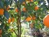 Fotoğraf Satılık Bahçe - Aydın Merkez Umurlu