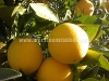 Fotoğraf Akdamda satılık portakal bahçesi